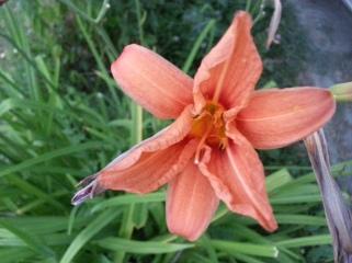ყვავილი
